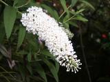 White Buddleia davidii