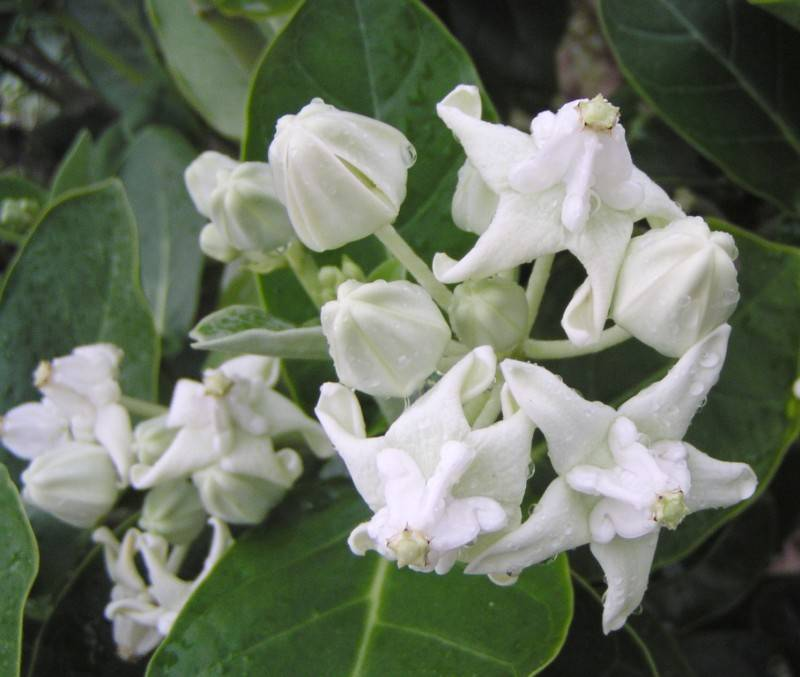 White Crown flowers (Calotopis gigantea)