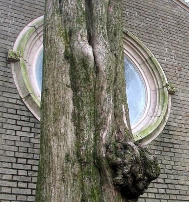 Cedar Tree in front of window