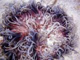 medusa - the wedge 23123