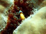 shy clown fish - blue boy 211203