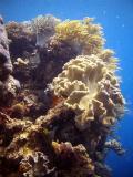 soft coral - split bommie 231203