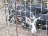 Pigs in a poke - December, 2003
