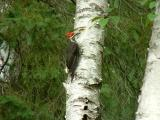 2004_0731_Pileated Woodpecker