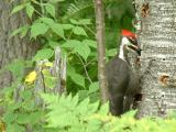 2004_0731_Pileated Woodpecker 2