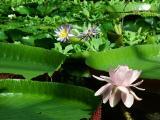 012 V.amazonica flower.JPG
