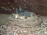 Eastern Phoebe - Sayornis phoebe (chicks)