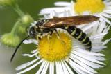 Thynnid Wasps - Thynnidae