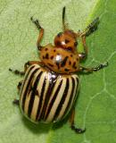 Colorado Potato Beetle - Leptinotarsa decimlineata
