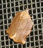 3658 - Omnivorous Leafroller Moth - Archips purpurana