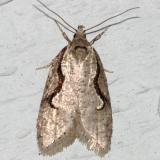 0912 -- Semioscopis Moth -- Semioscopis packardella