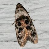 2319 - Bondia crescentella