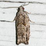 3259 -- Arrowhead Moth -- Gretchena deludana