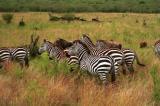zebras.jpg