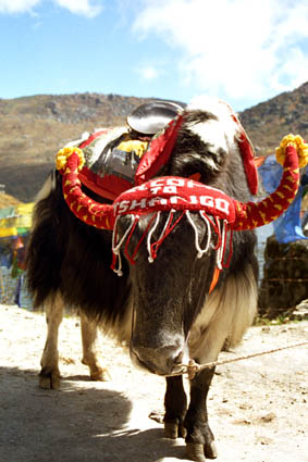 Yak near Tsongu Lake 2.jpg