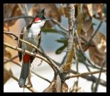 Red Whiskered Bulbul March 2005