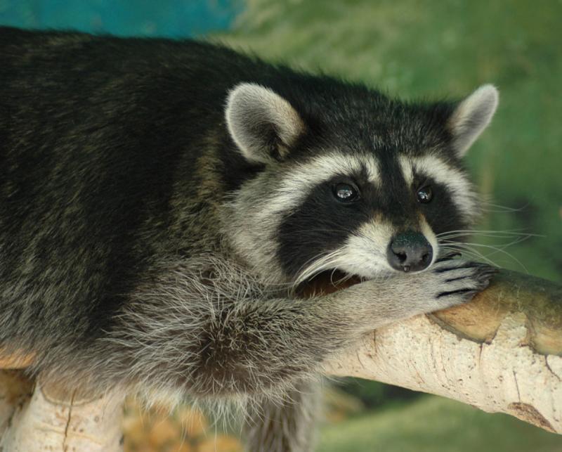 Raccoon at Pocatello Zoo DSC_0061.jpg