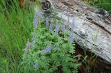 Lodgepole Lupine West Mink Trail DSC_0092.jpg
