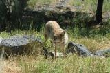 Wilma the zoo coyote DSC_0112.jpg