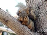 fox squirrel at Idaho State University between College of Business and College of Engineering PB120018.JPG