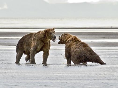 bears fighting.jpg