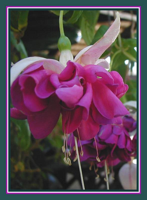 Double violet