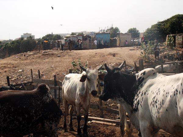 Cows near the beach, Accra
