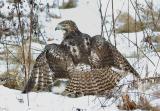 Hawk-guarding-its-victim