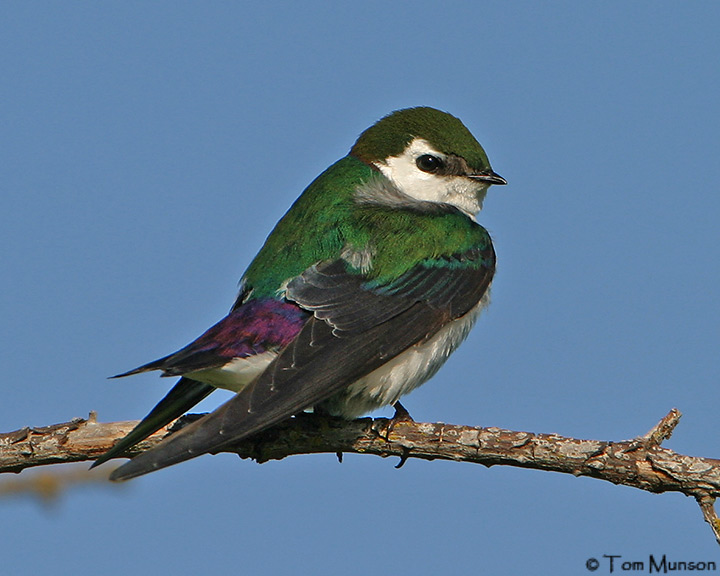 Violet-green-Swallow
