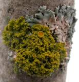 Xanthoria sp., probably X. hasseana   --  growing over a partially