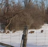 Wild Turkey flock - 2