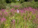 Tall stand of Purple loosestrife below the dam