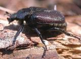 Osmoderma sp. scarab beetle that fell out of a Hemlock tree