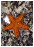 estrella de mar #4