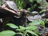 Turtles in the Tennessee Aquarium