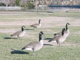Geese in Centennial Park in Nashville