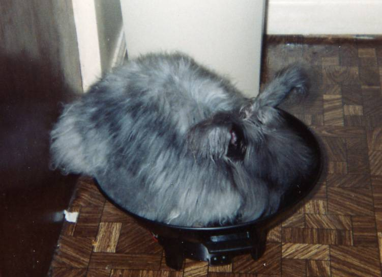 Our angora rabbit that made a wok into its bed