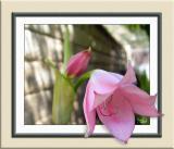 Pink Lady Lily