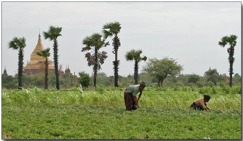 Peanut farming and temples, Bagan
