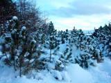 Snowy trees in Gundadal