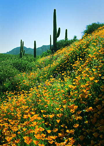 Apache Trail Poppies - #35