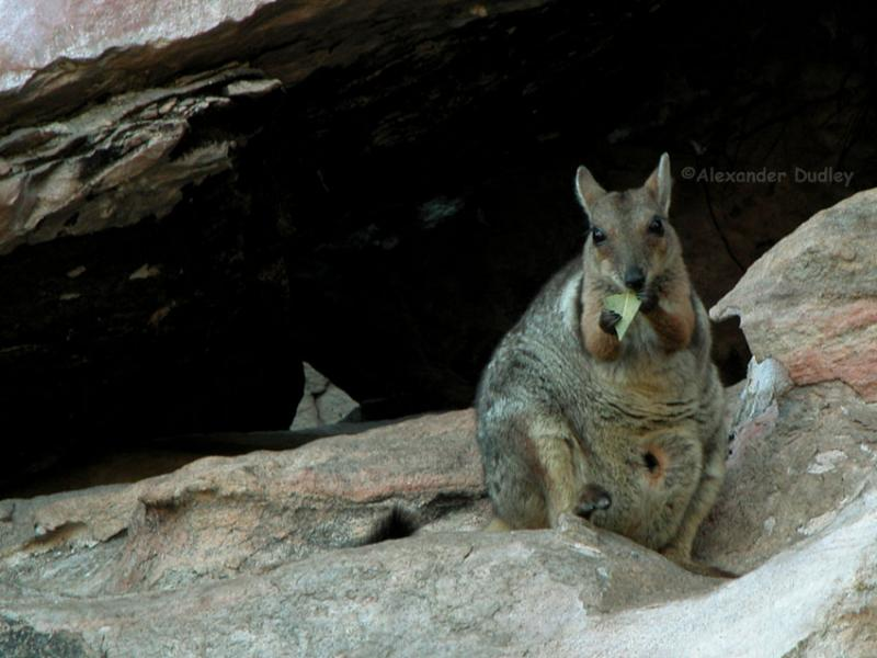 Short-eared Rock wallaby, Badbong