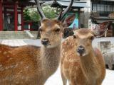 miyajima.deer.jpg