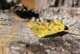Leaf drops 1