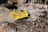 Leaf drops 2