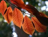 Washington Square Park - Leaves from perhaps an Ornamental Cherry Tree