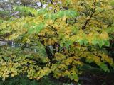 Red Bud Tree in the Fall Season