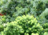 Japanese Pagoda & Locust Tree Foliage