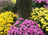 Chrysanthemum Flower Garden at the NYU Medical Center