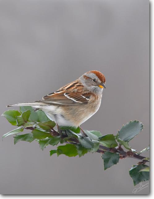 <!-- CRW_6478.jpg -->American Tree Sparrow